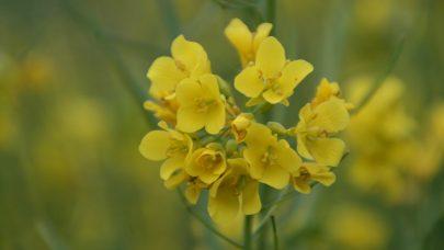 Oljevekst blomst Foto: Einar Strand