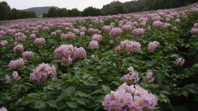 Ag potet blomsting rosa