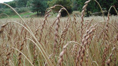 Is korn trsking modent Gilje Spelt 1