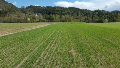 Korn havrefelt med tendens til manganmangel foto Sigbjorn Leidal