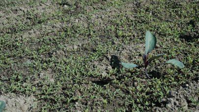 Rodkal nyplante meldestogg mye ugras Atrid Gissinger NLR Agder