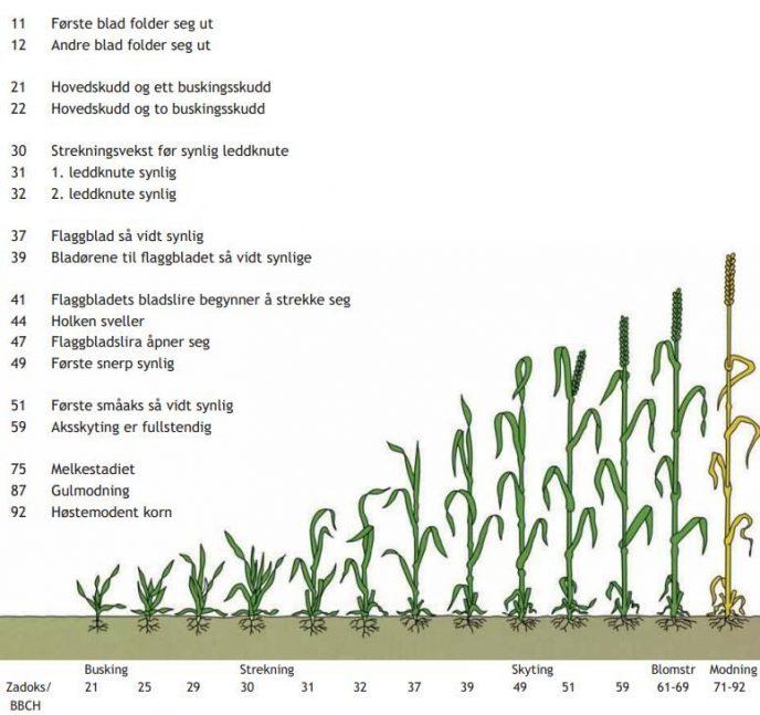 Utviklingsstadier korn NIBIO