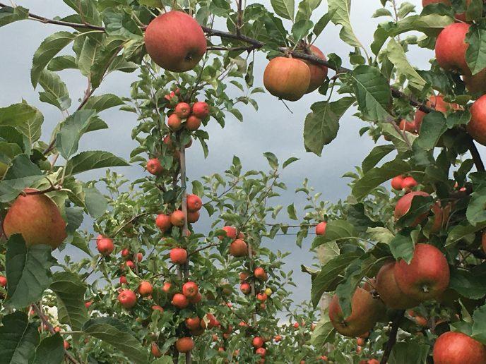 I eple forsøker vi å unngå vekselbæring, vi ønsker jevne avlinger hvert år. Foto: Anne Kari Heen